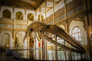 large skeleton of a whale in one hall of the museum in Santiago